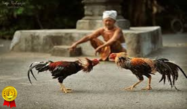 Daftar Adu Ayam Bangkok Melalui HP